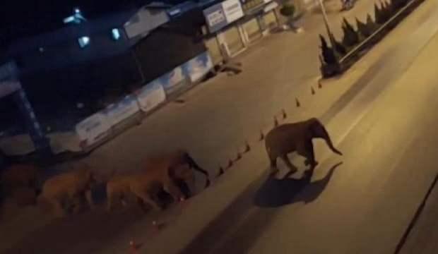 Çin'de yolunu kaybeden fil sürüsü şehri gezdi