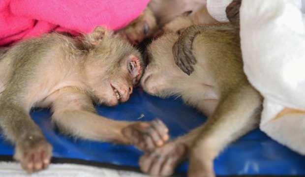Yenmek için kaçırılmaya çalışılan onlarca maymun kurtarıldı