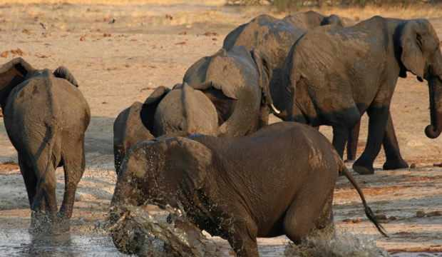 Hindistan'da 28 fil koronavirüse yakalandı!