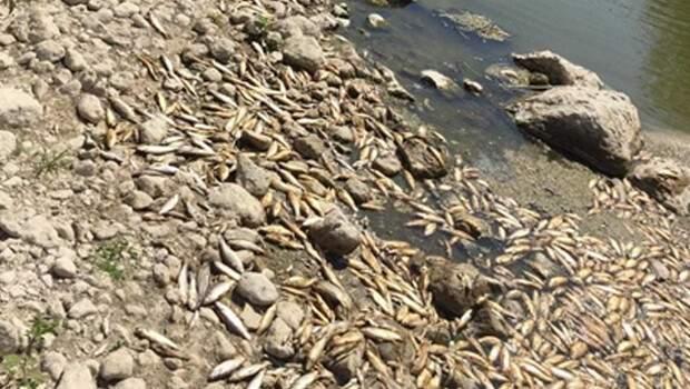 Su seviyesi azalınca çok sayıda balık kıyıya vurdu