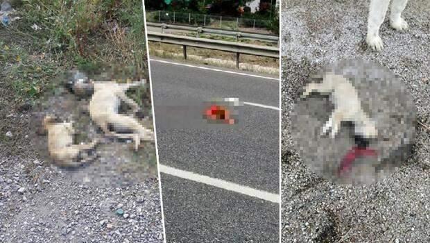 Belediyenin yol kenarına attığı köpekler araçların altında can verdi